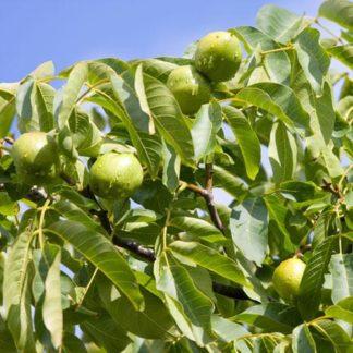 Грецкий орех Качинский