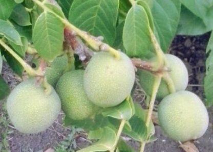 Грецкий орех Скороплодный Левина