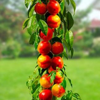 Персик колоновидный Силач