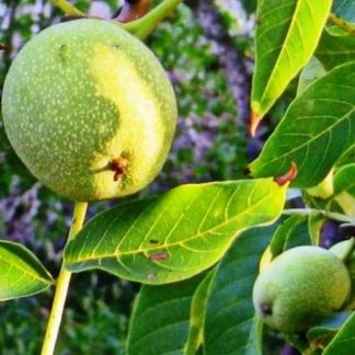 Грецкий орех Когылничану