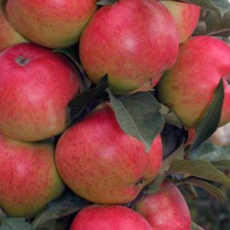 Яблоня Валюта