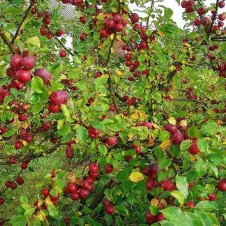 Яблоня Китайка желтая