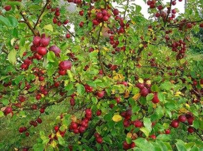 Яблоня Китайка красная