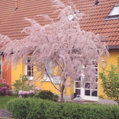 Тамарикс мелкоцветковый