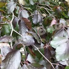 Бук лесной Пурпуреа Пендула