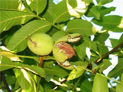 Грецкий орех Вировский