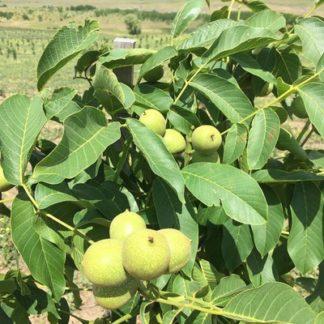 Грецкий орех Молдавский латерал