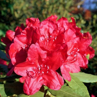 Рододендрон гибридный Ред Импульс