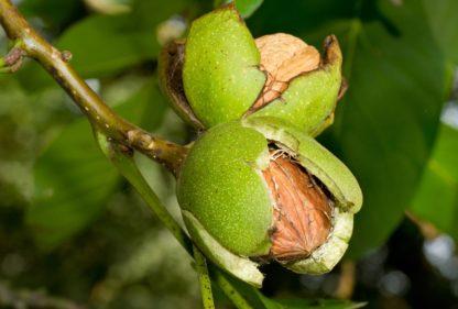 Грецкий орех Пелан