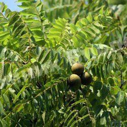 Грецкий орех Юбилейный
