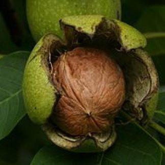 Грецкий орех Клишковский