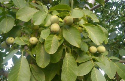 Грецкий орех Таисия