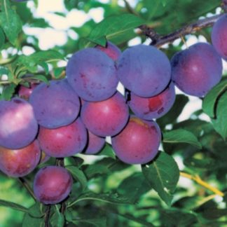 Алыча Персиковая