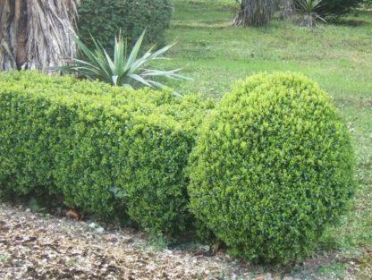Самшит вечнозеленый Суффрутикоза