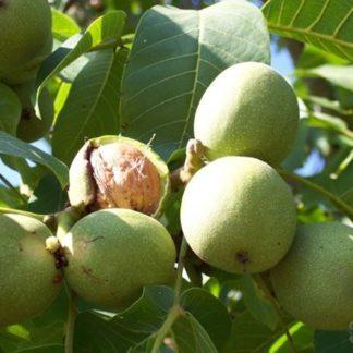 Грецкий орех Майетт (Mayette)