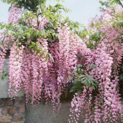Глициния обильно цветущая Хонбени