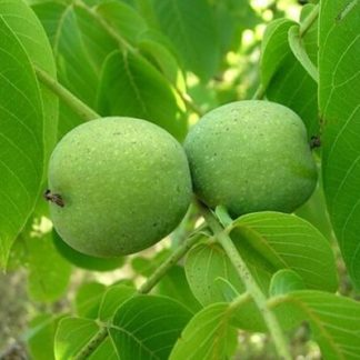 Грецкий орех Тимофей