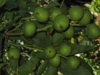 Грецкий орех Скороплодный