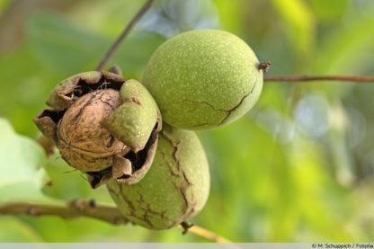 Грецкий орех Яровской