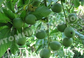 Грецкий орех Кодрене