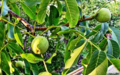 Грецкий орех Краснодарский скороплодный