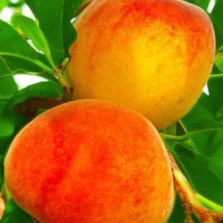 Персик колоновидный Кулон