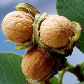 Грецкий орех Память Минова