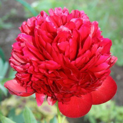 Пион травянистый Ред Спайдер