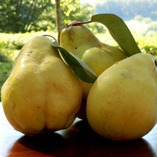 Айва лимонка