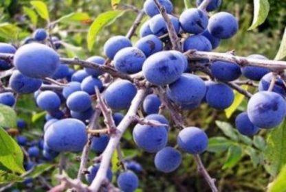 Слива Синий Дар