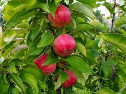 Яблоня Обелиск