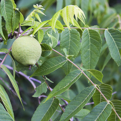 Грецкий орех Байконур