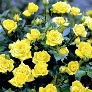 Роза бордюрная Еллоу Долл