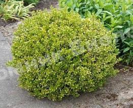 Самшит вечнозеленый Салицифолия