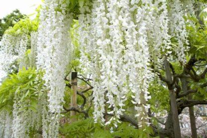 Глициния белая обильноцветущая Широ-нода