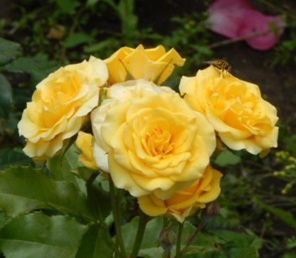 Роза бордюрная Голд Микадо