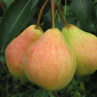 Груша Осенняя сладкая
