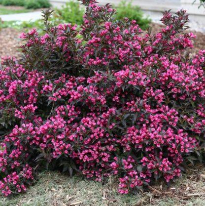 Вейгела цветущая Пурпуреа