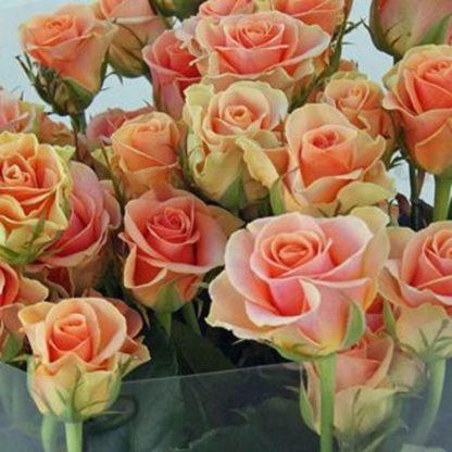 Роза бордюрная Изис