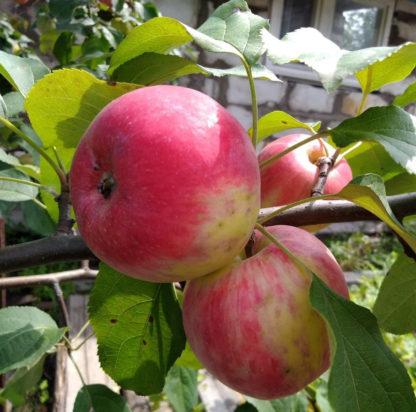 Яблоня Анис алый