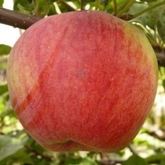 Яблоня Бессемянка