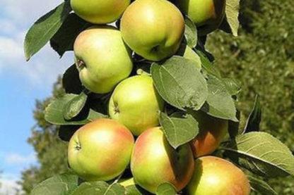 Яблоня Икша