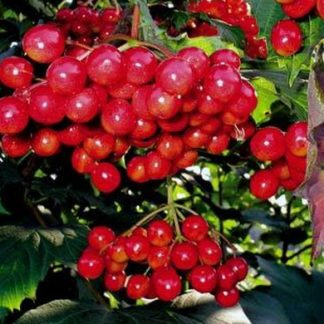 Калина Красная гроздь