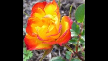 Роза бордюрная Колибри