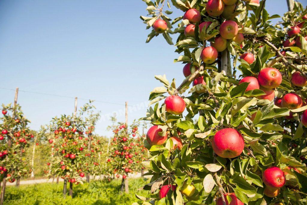 Выбор саженцев плодовых деревьев: как не сделать ошибку?