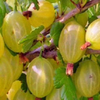 Лимонник «Волгарь»