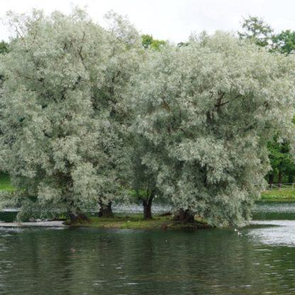 Ива белая серебристая