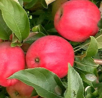Яблоня Малиновка (Суйслепское)