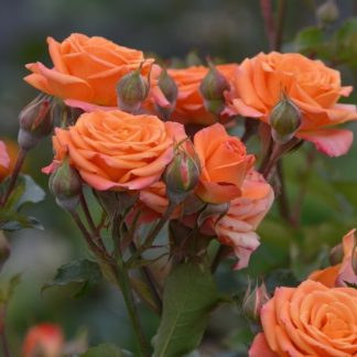 Роза бордюрная Пинк Оранж