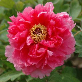 Пион Очаровательная Весна